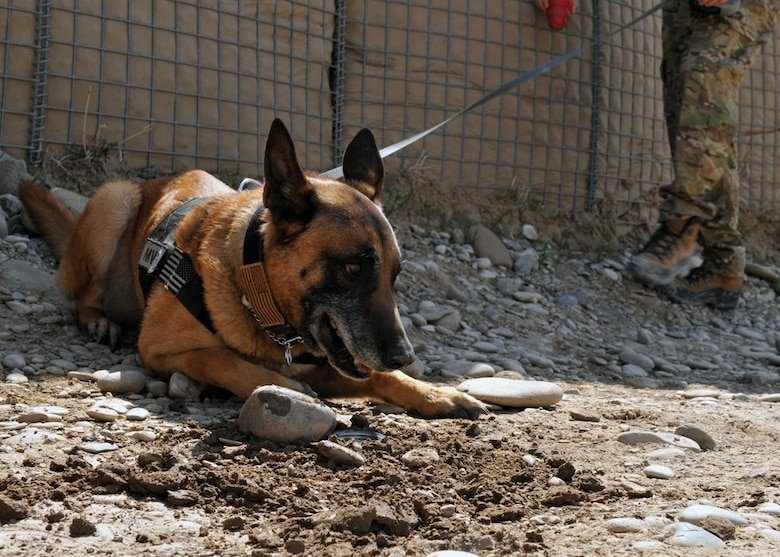 Petty Officer 1st Class Valdo, Navy military working dog, locates improvised explosive device making materials during a training session at Forward Operating Base Todd, Bala Murghab District, Badghis Province, Afghanistan, April 2, 2011. The following day, Valdo embarked on a foot patrol into a known insurgent hotbed to sniff out mines, IEDs and booby traps. During an April 4 firefight, Valdo was wounded by a rocket propelled grenade, received a Purple Heart Medal, and retired from the Navy a year later. (U.S. Air Force photo by Master Sgt. Kevin Wallace/RELEASED)