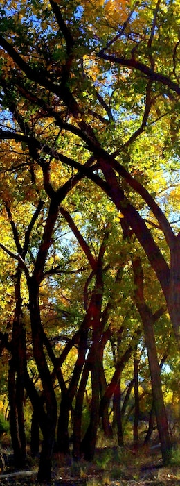 ALBUQUERQUE, N.M., -- A cottonwood grove at the Rio Grande Nature Center, seen at sunrise. Photo by Michael Porter, Oct. 21, 2011.