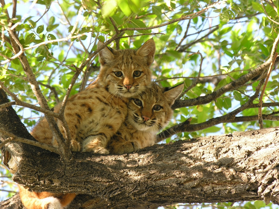 JOHN MARTIN RESERVOIR & DAM, Colo., -- This photo of bobcat kittens in a tree placed first in the 2011 Albuquerque District photo drive. Photo by Craig Trinkle, Aug. 2011.