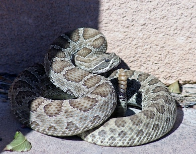 JOHN MARTIN DAM, COLO., -- This rattle snake suprised more than a few District employees when it was found sunning itself next to the administration building and parked Corps vehicles at John Martin Reservoir. Photo by Karen Downey, Oct. 16, 2009.