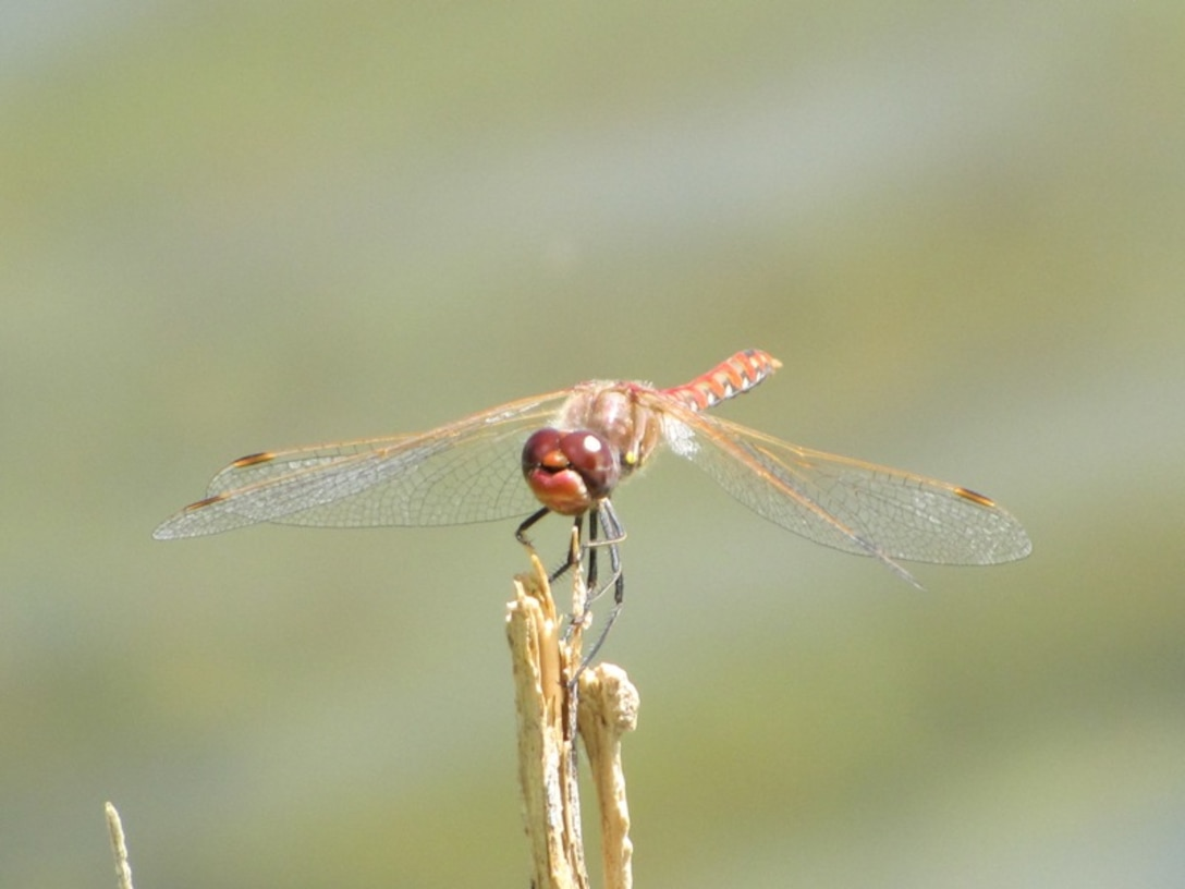 A dragon fly pauses on a twig in the Truchas area of N.M. Photo by Nadine Taylor, July 2010.
