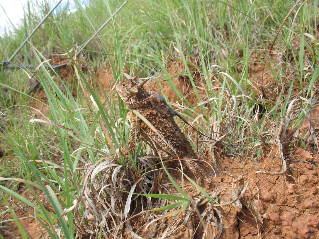 More than 350 species of animals, including this Texas horned lizard, call Tinker Air Force Base home. Find out about the different species on pages 8-9. Also, see page 10 for an article on a local author who has made the horned lizard the star of her newest book. (Courtesy photo)