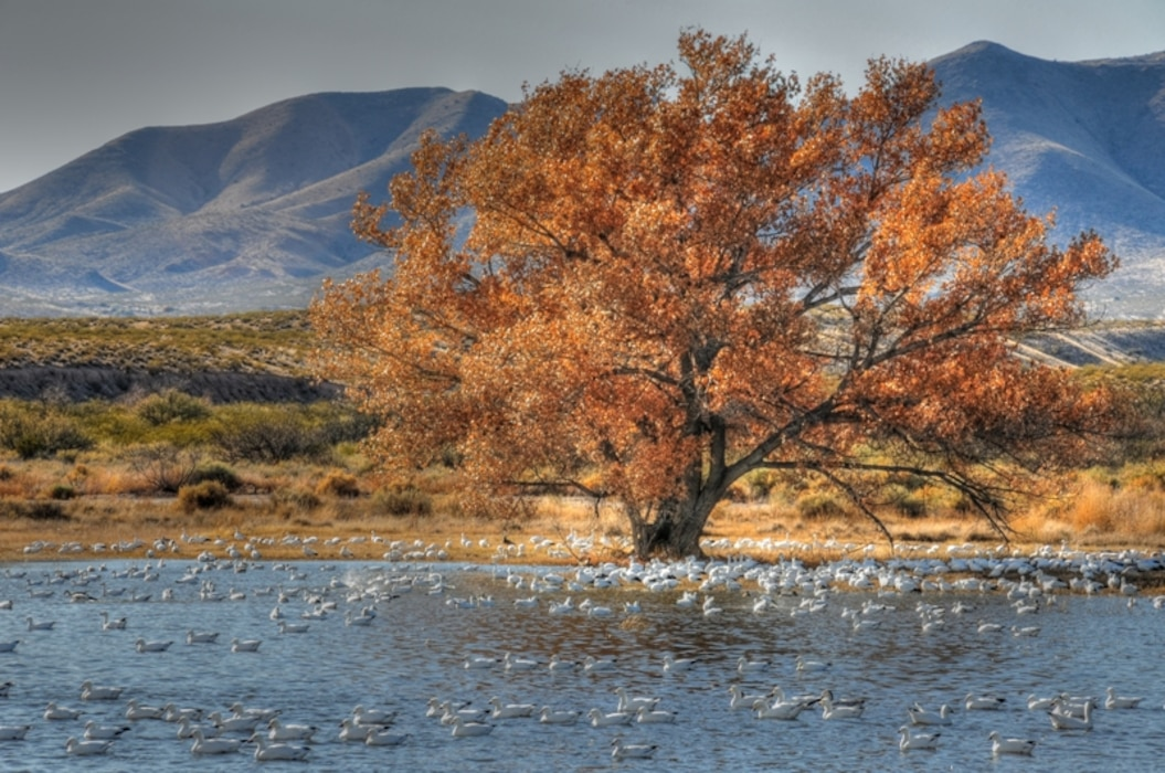 SAN ANTONIO, N.M., -- Cottonwoods and birds Bosque Del Apache National Wildlife Refuge. Photo by Richard Banker, Nov. 29, 2009. This photo placed second in the District's 2010 photo contest.