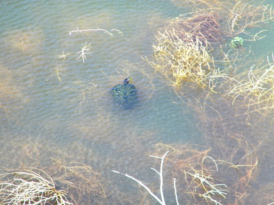 CONCHAS DAM, N.M., -- Photo of a turtle taken during a periodic inspection of the irrigation headworks at dam. Photo by Antonio Urquidez, April 13, 2010.