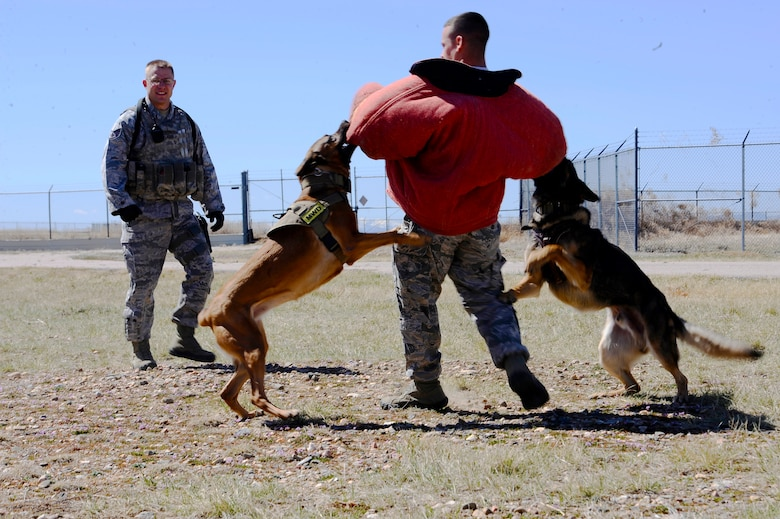 Rex and Jeja, 460th Security Forces Squadron military working dogs, latch onto Staff Sgt. Joshua Carabajal, 460th SFS MWD handler, during a K-9 exercise at a training facility April 8, 2014, on Buckley Air Force Base, Colo. MWDs routinely train in narcotic and explosives detection training, along with apprehension work. (U.S. Air Force photo by Airman 1st Class Samantha Saulsbury/Released)