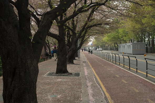 Cherry blossom trees bloom on the streets outside of Yeouido Park April 12, 2014, in Seoul, Republic of Korea. The park, located next to the National Assembly Buildling, is renowned for its scenic cherry blossoms. (U.S. Air Force photo by Staff Sgt. Jake Barreiro)