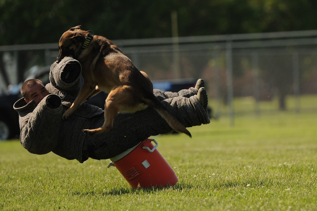 Military Working Dog Breston subdues a simulated uncooperative suspect during a K-9 competition May 17, 2014, at Scott Air Force Base, Ill. The K-9 competition brought together military and civilian working dogs to showcase the dogs' skills. Breston is a MWD with the 375th Security Forces Squadron. (U.S. Air Force photo/Senior Airman Sarah Hall-Kirchner)