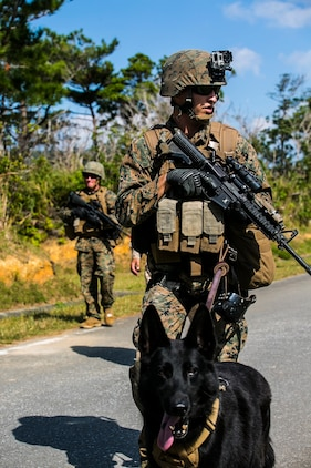Cpl. Nicholas B. Majerus and his dog, Sgt. Iggi, patrol in search of simulated downed aircrew members Nov. 5 during the exercise Blue Chromite 15 at the Central Training Area. Iggi was responsible for locating two of the aircrew members. Iggi only needed to use a hat from one of the Marine aircrew members to track down the aircrew through a dense jungle area. Majerus is a military policeman and working dog handler with 3rd Law Enforcement Battalion, III Marine Expeditionary Force Headquarters Group, III Marine Expeditionary Force. Sgt. Iggi is a combat tracking dog with 3rd LE Bn.
