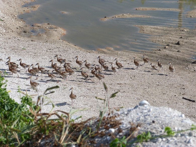 Ducklings are herded toward the coral where they are captured, banded and released.