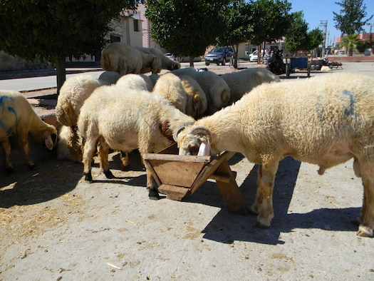 Sheep are sold in Incirlik Village for the upcoming Sacrifice Festival, Oct. 1, 2014, near Incirlik Air Base, Turkey.  The holiday lasts four-and-a-half days and it begins Oct. 3 at noon. (U.S. Air Force photo by Tech. Sgt. Dallas Edwards/Released)