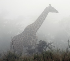 A giraffe is seen through the mist in Tanzania, shown in August 2014.  Volunteers from Yuba City, California, recently returned from their mission trip to help improve an orphanage near the Tanzanian city of Arusha.