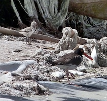 Another important species that nested successfully on DMPF-3D is the American Oystercatcher, considered a species of special concern by the Florida Fish and Wildlife Conservation Commission.  The chick pictured here just recently fledged; he can fly!