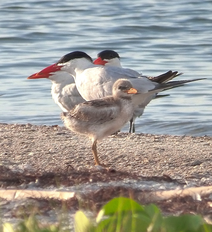 Caspian Tern adults with chicks.