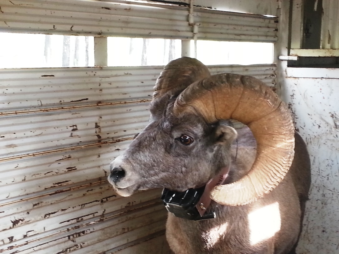 The adult Rocky Mountain Bighorn Sheep that were released have radio collars, some with GPS, that will give biologists new insights about the sheep.
