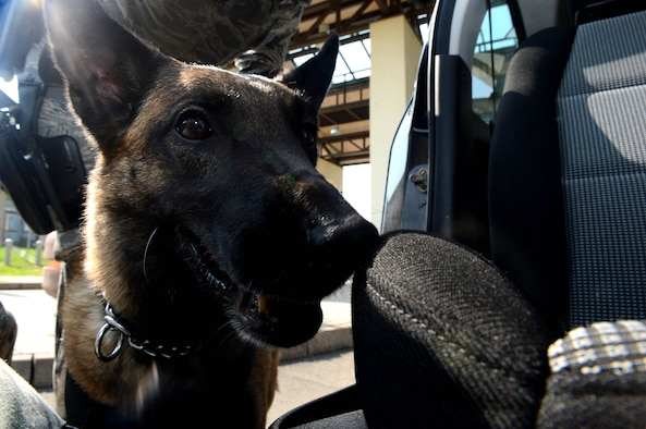 Joice, a 52nd Security Forces Squadron military working dog, smells the passenger side of a vehicle to search for illegal substances at Spangdahlem Air Base, Germany, Sept., 9, 2014. Security forces members always remain vigilant by randomly searching vehicles as an anti-terrorism measure. Police dogs are used to detect explosive, illegal drugs or other harmful substances. (U.S. Air Force photo by Airman 1st Class Kyle Gese/Released)
