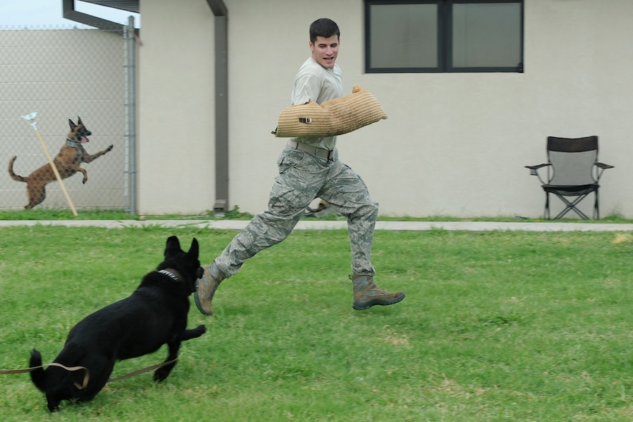 GOODFELLOW AIR FORCE BASE, Texas - Staff Sgt. Donald T. Weaver, 17th Security Forces Squadron military working dog handler, trains the base's newest MWDs at the kennel Aug. 12. The dogs are a Belgian Malinois and a German Shepherd, the two most common breeds used for MWDs. (U.S. Air Force photo/ Staff Sgt. Laura McFarlane)