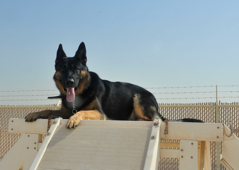 Renato a 3-year-old military working dog with the 379th Expeditionary Security Forces Squadron, takes a break from decoy training at Al Udeid Air Base, Qatar, Sept. 24, 2014. MWDs are used throughout the military to detect explosive devices and illegal narcotics and assist during patrol on military installations worldwide. (U.S. Air Force photo by Senior Airman Colin Cates)