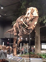 Montana's T.rex is the most completely mounted T.rex fossil, not a cast or a replica. The mount includes the animal's belly ribs, also known as gastralia. Belly ribs apparently helped protect vital organs, and are found in all meat-eating dinosaurs, crocodilians, and some other reptiles.