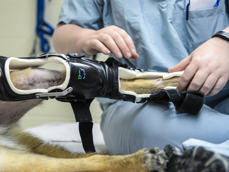 Military Working Dog SStash gets outfitted with his new modified leg brace at the Holland Military Working Dog Hospital on Joint Base San Antonio-Lackland, Texas, April 2, 2015. SStash became injured and inactivity led to severe muscle loss in his leg; the original leg brace could no longer fit properly. (U.S. Air Force photo by Staff Sgt. Michael Ellis)