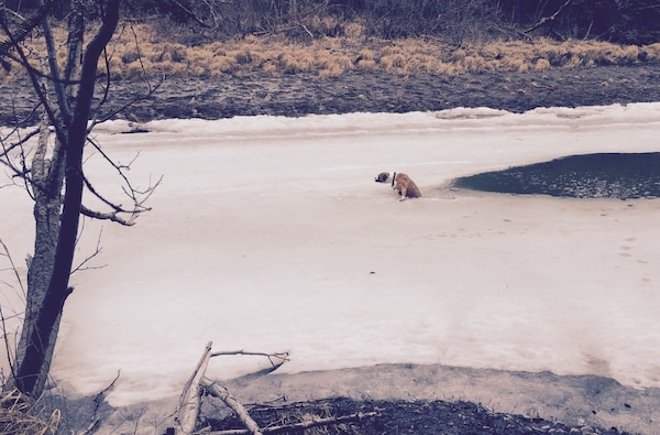 Scooby, a boxer-breed dog, fell through thawing ice on the Eagle River April 18 near Anchorage leading her frantic owner to call for help. Luckily, U.S. Army Corps of Engineers – Alaska District employee Mike MacMillan, project manager in the Humanitarian Assistance Program, was home to answer the call from his neighbor in distress.