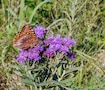 Butterfly on wildflowers Southwind Nature Trail.