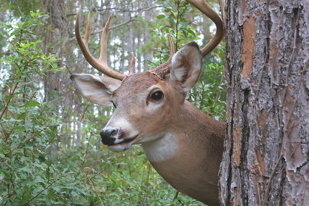 Deer season runs from Aug. 15 through Jan. 1(bucks only Aug. 15 through Sept. 15.) Harvest limits are set by the Air Station's game warden and are in accordance with state refulations.