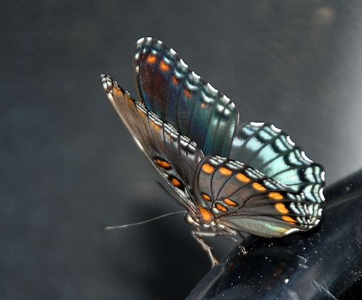 A Red Spotted Purple butterfly rests before continuing its search of sweet nectar.