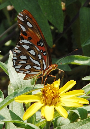 A Gulf Fritillary, otherwise known as the Passion Butterfly, helps pollinate a flower in Marine Corps Logistics Base Albany's Nature Center garden by carring pollen from plant to plant,  recently. The pollen helps fruits, vegetables and flowers to produce new seeds. The Gulf Fritillary is one of the most common butterflies on the installation.