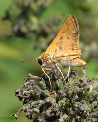 A Firey Skipper butterfly pollinates a flower in Marine Corps Logistics Base Albany's Nature Center garden, recently.