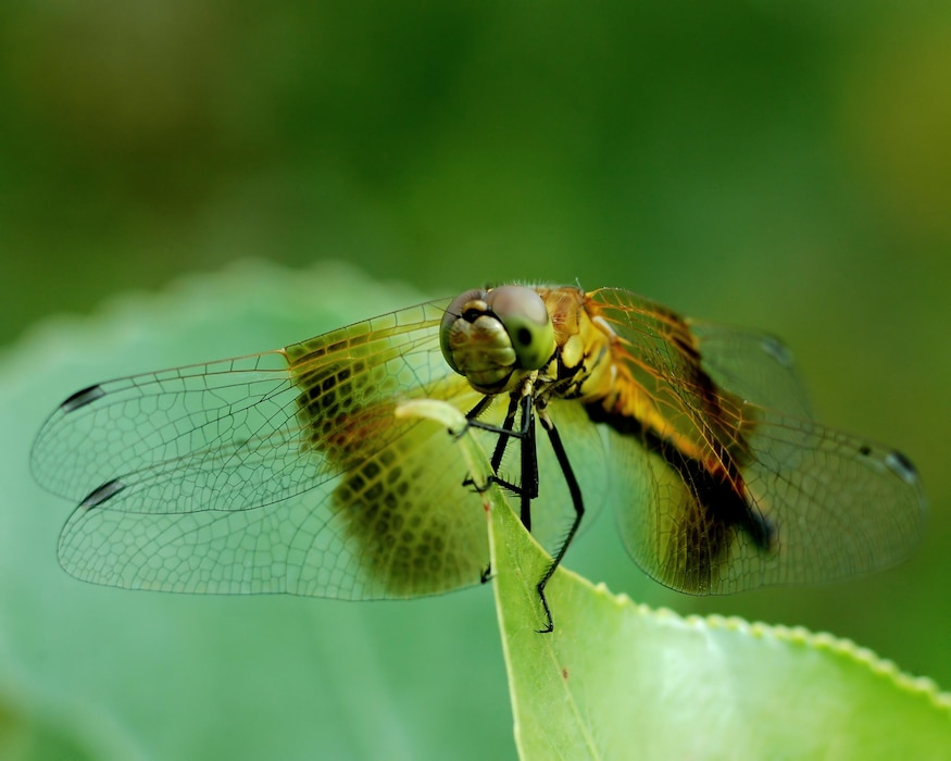 The Western Pondhawk, a wetlands species, at John Martin Reservoir, July 12, 2009. Photo by Van Truan.