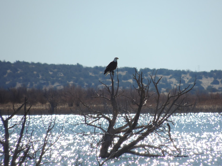SANTA ROSA LAKE, N.M. – A bald eagle perches in a tree in the Horseshoe Bend area of the lake, Feb. 10, 2015. Photo by Paul Sanchez.