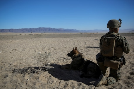 Lance Cpl. David Wadleigh, a military working dog handler and Nicky, a military working dog with 1st Law Enforcement Battalion, I Marine Expeditionary Force, provide security during a simulated mass casualty drill during Steel Knight aboard Marine Corps Air Ground Combat Center Twentynine Palms, Calif., Dec. 12, 2015. Steel Knight prepares Marines and sailors with the 1st Marine Division and adjacent I Marine Expeditionary Force units with the skill sets necessary to operate as a fully capable Marine Air Ground Task Force. (U.S. Marine Corps photo by Cpl. Will Perkins/RELEASED)