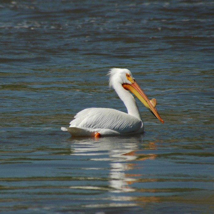 White Pelican in tailwaters below the Red Rock Dam