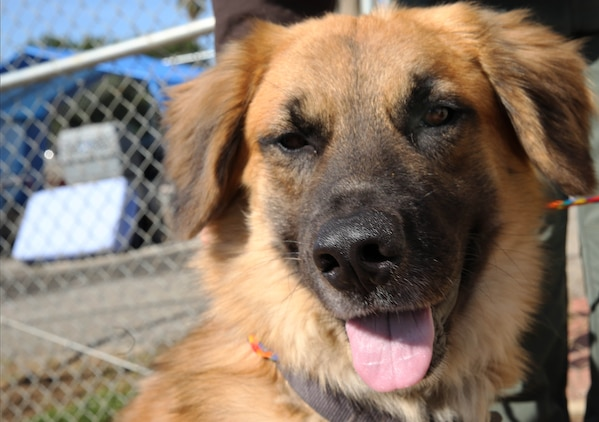 Buckeye is a Golden Retriever and German Shepherd mix and available for adoption at the Camp Pendleton Animal Shelter. The adoption fee at the shelter for dogs is $110.