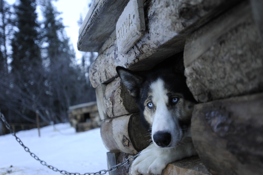 Tuya, a sled dog, rests in her doghouse after greeting a handful of park guests at Denali National Park, Alaska, Jan. 19, 2015. Denali National Park has nearly 30 sled dogs that patrol much of the park's 6 million acres throughout the winter; visitors are encouraged to meet the dogs while the dogs are not on patrol. (U.S. Air Force photo by 1st Lt. Elias Zani/Released)