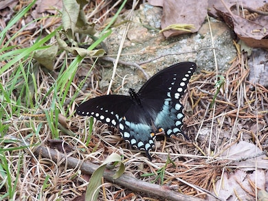 Spicebush Swallowtail Butterfly at Cranfield Trail on Norfork Lake.
