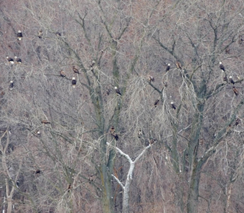 Bald Eagles gathered along the Mississippi River.
