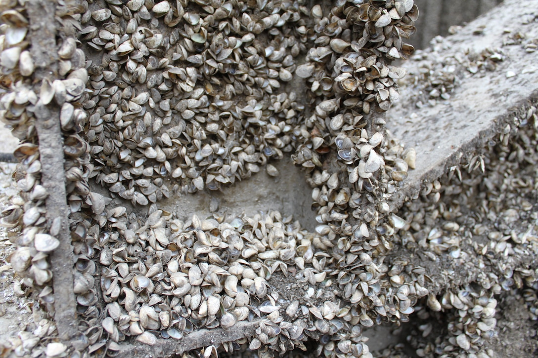 It has been 35 years since the T.J. O'Brien Lock was last dewatered. During that time, invasive species like zebra mussels have had plenty of time to cover nearly every surface of the sector gates.