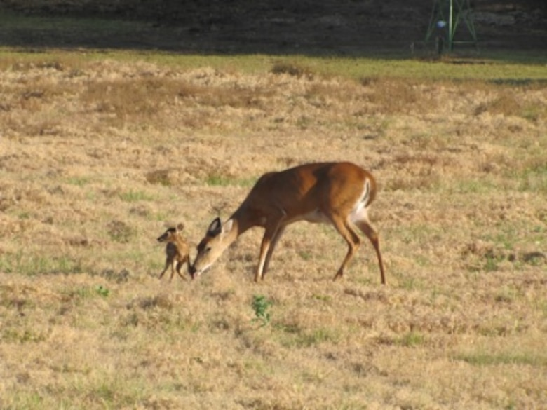 Newborn white tail deer