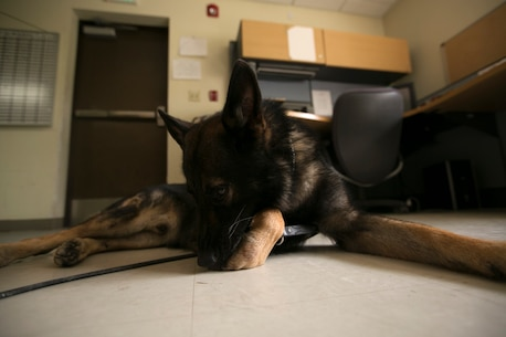 """Nico, a military working dog, rest in the office after training in the hot sun June 19, on Kadena Air Base, Okinawa, Japan. According to Staff Sgt. Daniel Andrzejewski, the kennel master for the Provost Marshal's Office with Headquarters and Support Battalion, Marine Corps Installations Pacific, Marine Corps Base Camp Butler, Japan, though the dogs are not required to be out of the kennel for the majority of the work day, many handlers spend hours on end with their dogs. """"A lot of the time (the dog handlers) will keep them out most of the day,"""" said Andrzejewski. """"They're not even training. Most of the time (handlers) will let the dogs hang out around the office while they work instead of leaving them in the kennels. I love (seeing) that because it shows me these guys really do love and care for the dogs.""""  (U.S. Marine Corps Photo by Lance Cpl. Daniel Jean-Paul/Released)"""