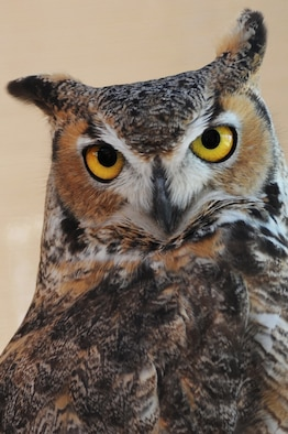 A great-horned owl sits on a perch at the Tucson Wild Life Center in Tucson, Ariz., 12 Feb, 2015. The owl is a non-releasable animal ambassador for the TWC. It is used to help educate the public on how to co-exist with wildlife.