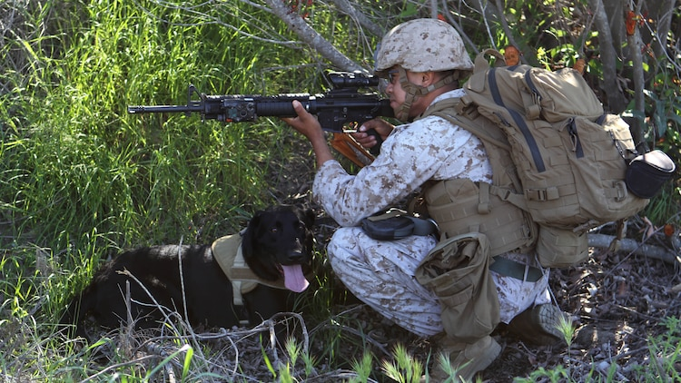 "Lance Cpl. Rosendo Madrigal, military working dog handler, Military Working Dog Platoon, 1st Law Enforcement Battalion, and his dog, Saber, post security as the patrol comes to a halt. ""Saber is a specialized search dog, he has different capabilities than the other dogs,"" said Madrigal. ""He's an explosive detection dog he works on and off the leash, but I primarily work him off of the leash so I can push him off a great distance and he can help us to find IEDs and keep us at a safe distance."" Marines with MWD Platoon, 1st LEB and Assault Breacher Vehicle Platoon, Alpha Company, 1st Combat Engineers Battalion, participated in Counter Improvised Explosive Device Training aboard Camp Pendleton, Calif., March 10, 2015."