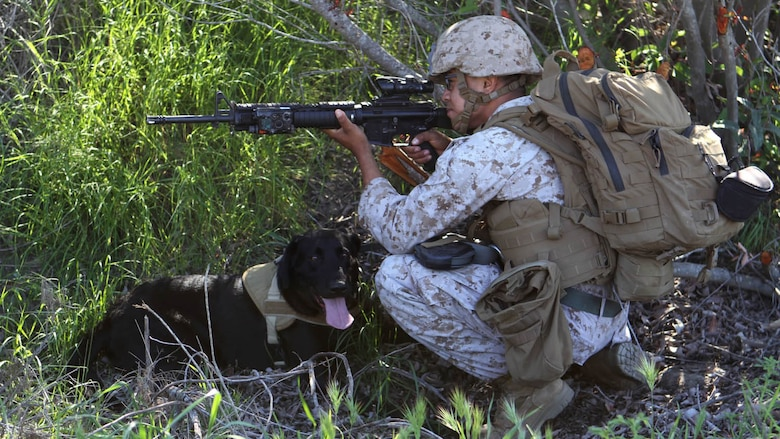 """Lance Cpl. Rosendo Madrigal, military working dog handler, Military Working Dog Platoon, 1st Law Enforcement Battalion, and his dog, Saber, post security as the patrol comes to a halt. """"Saber is a specialized search dog, he has different capabilities than the other dogs,"""" said Madrigal. """"He's an explosive detection dog he works on and off the leash, but I primarily work him off of the leash so I can push him off a great distance and he can help us to find IEDs and keep us at a safe distance."""" Marines with MWD Platoon, 1st LEB and Assault Breacher Vehicle Platoon, Alpha Company, 1st Combat Engineers Battalion, participated in Counter Improvised Explosive Device Training aboard Camp Pendleton, California, March 10, 2015."""