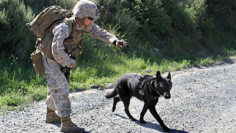 Lance Cpl. David Wadleigh, military working dog handler, Military Working Dog Platoon, 1st Law Enforcement Battalion, instructs his dog, Hugo, to search for traces of explosive materials. Marines with MWD Platoon, 1st LEB and Assault Breacher Vehicle Platoon, Alpha Company, 1st Combat Engineers Battalion, participated in Counter Improvised Explosive Device Training aboard Camp Pendleton, California, March 10, 2015.