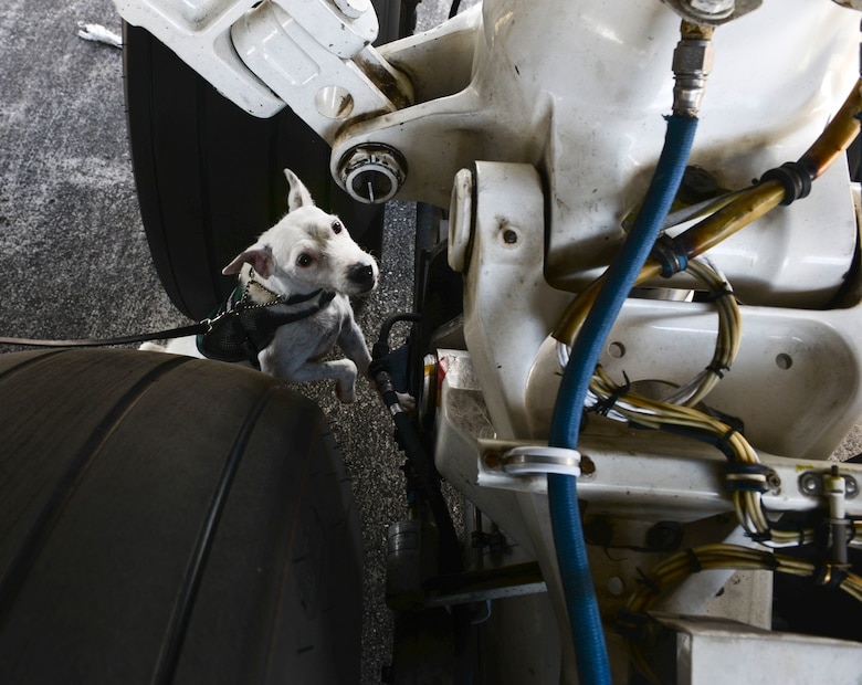 Striker, a U.S. Department of Agriculture brown tree snake detector dog, inspects an aircraft prior to departure April 30, 2015, at Andersen Air Force Base, Guam. All Department of Defense aircraft, household goods, vehicles and cargo are required to be searched prior to departure in order to prevent the establishment of the snakes in other regions. (U.S. Air Force photo by Senior Airman Katrina M. Brisbin/Released)