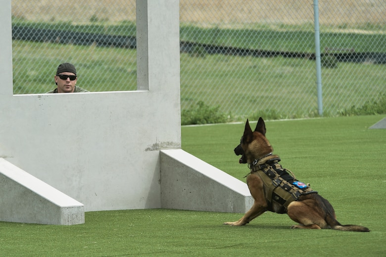 A military working dog watches it handler for the release signal during the Cpl. David Sonka Memorial Competition May 3, 2015, at the 460th Security Forces training field on Buckley Air Force Base, Colo. The weekend's events were held to honor the life of Sonka, a U.S. Marine Corps Military Working Dog handler who was killed in action in Afghanistan May 4, 2013. The weekend's events included a motorcade to his grave, two memorial services, the reading of the names of all MWD and MWD handlers killed in action during Vietnam and recent years, a BBQ, and concluded with a multi-service dog handling competition. (U.S. Air Force photo by Senior Airman Phillip Houk/Released)