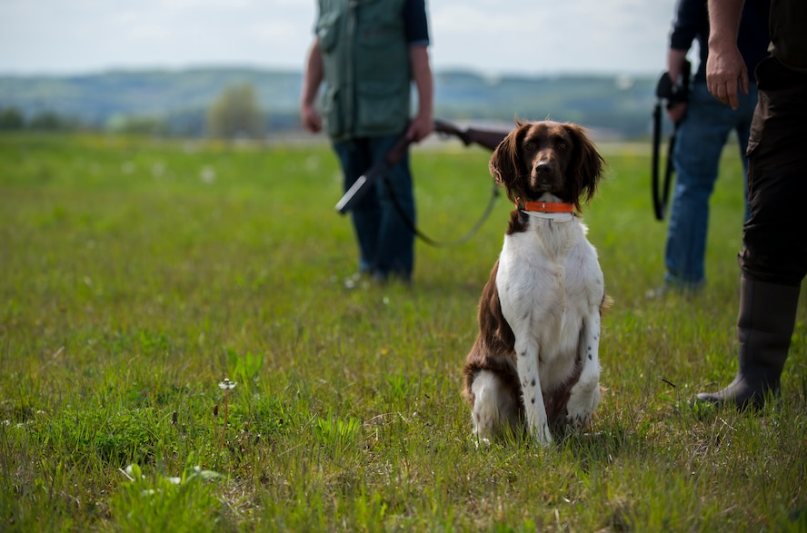 A hunting dog looks out into a field alongside the flightline during a hunting demonstration by the volunteer base hunters at Spangdahlem Air Base, Germany, May 4, 2015. The hunting dogs helped capture and remove 72 animals from the flightline during the hunting season from 2014-2015. (U.S. Air Force photo by Airman 1st Class Luke Kitterman/Released)