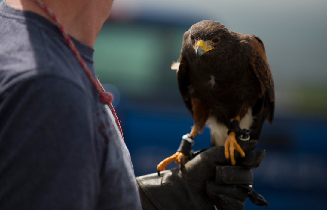 A hunting falcon rests on the hand of Paul Maus, a falconer apprentice, during a demonstration of the falcon's capabilities alongside the flightline at Spangdahlem Air Base, Germany, May 4, 2015. Maus and Jens Fleer, the base's primary falconer, use multiple birds a few times a week to keep the flightline clear of different animals. (U.S. Air Force photo by Airman 1st Class Luke Kitterman/Released)