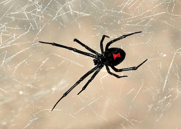 Black widows are well-known spiders recognized by the red, hourglass-shaped mark on their abdomens and their venom that is about 15 times stronger than that of a rattle snake.