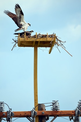 Modified Osprey Nests Save Birds Prevent Power Outages Marine
